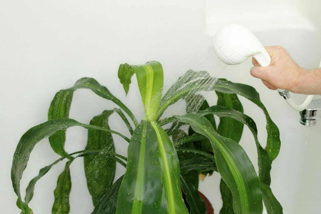 Watering a house plant couldn't be any easier in bathroom.